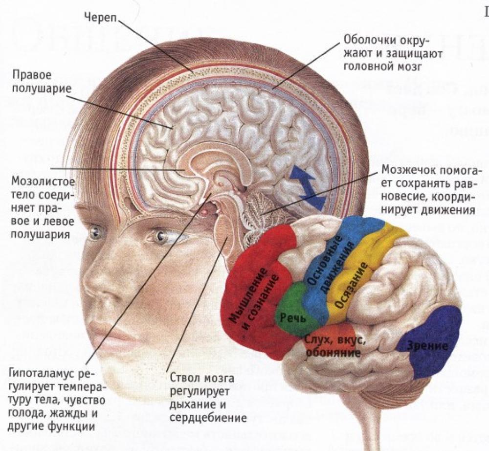 Картинки по запросу В головном мозге растворятся старые пакеты нейронов.